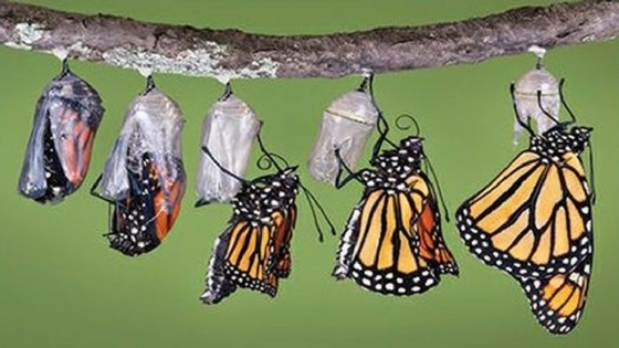 butterflies coming out of cocoons